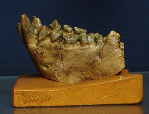 Dryopithecus - Mandible fragment of D. fontani from Saint-Gaudens, France (Middle Miocene, 11,5 My) ; cast from Museum national d'histoire naturelle, Paris