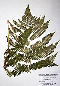 Dryopteris goldiana BW-1979-0618-0556.jpg