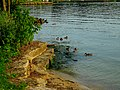 Ducks in Lake Mendota - panoramio (2).jpg