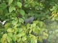 File:Dumetella carolinensis -Wildwood Preserve Metropark, Toledo, Ohio, USA -calls-8.ogv