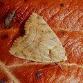 Dun-bar. Cosmia trapezina - Flickr - gailhampshire (1).jpg