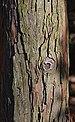 Dwarf Hinoki Falsecypress Chamaecyparis obtusa 'Nana' (35-4356-A) Trunk Bark.JPG