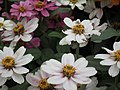 Dwarf Zinnia from Lalbagh flower show Aug 2013 8240.JPG