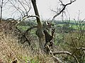 Dying Tree above Romney Marsh - geograph.org.uk - 731897.jpg