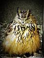 Eagle Owl (جغد شاخدار).jpg