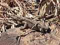 Eastern Bearded Dragon Gulgong.jpg