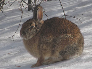 Eastern cottontail - Winter coat, Ottawa, Ontario