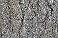 Eastern White Pine Pinus strobus Bark Horizontal.JPG
