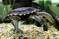 Eastern long neck tortoise - chelodina longicollis02.jpg