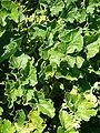 Ecballium elaterium 2007-06-02 (plant).jpg