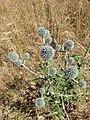 Echinops sphaerocephalus sl4.jpg