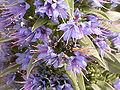 Echium webbii (Puntallana) 04.jpg