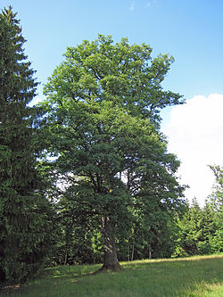 Oak - Wikipedia