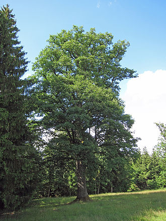 Oak - Oak at Schönderling