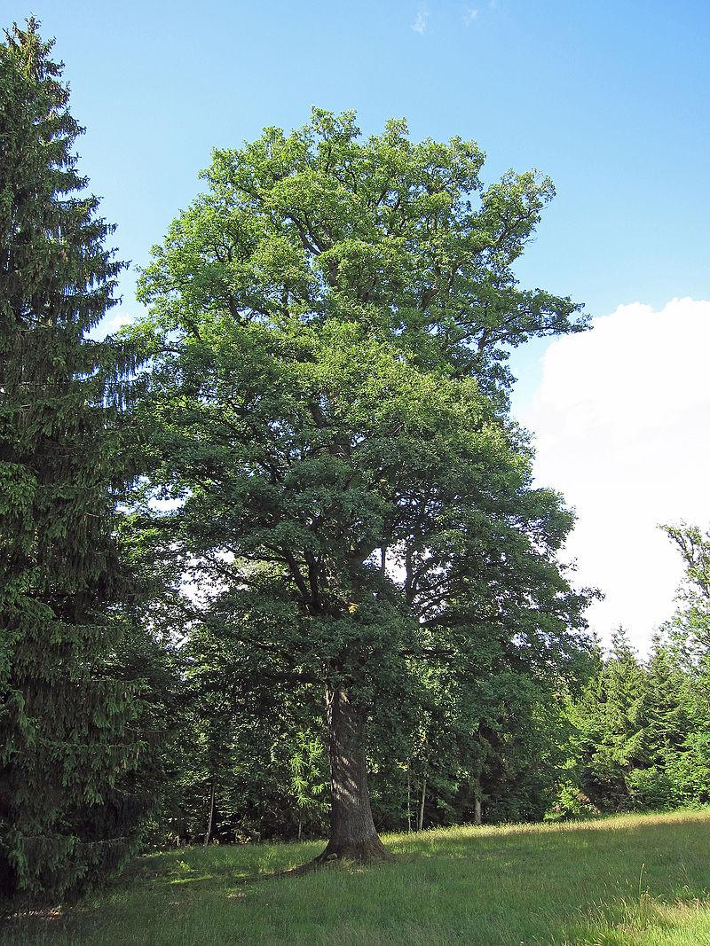 Oak howlingpixel