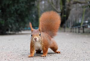 Red Squirrel with pronounced winter ear tufts ...