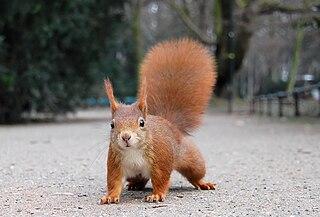Veverica stromová (lat. Sciurus vulgaris)