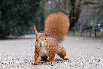 Eichhörnchen Düsseldorf Hofgarten edit.jpg