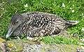 Eider Duck (Somateria mollisima) - geograph.org.uk - 1922826.jpg