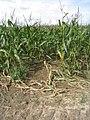 Ein Maisfeld im Sommer - geo.hlipp.de - 23974.jpg