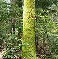 Ein bemoster Baum zeigt uns die Wetterseite. - panoramio.jpg
