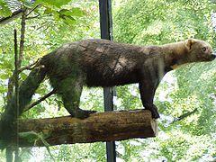 Irara no zoológico de Praga, na República Tcheca