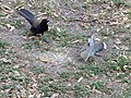 Encounter Between Great-Tailed Grackle And White-winged dove 2018 01.jpg