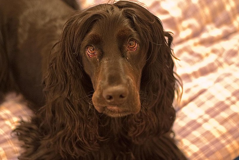"The image ""http://upload.wikimedia.org/wikipedia/commons/thumb/0/02/English_Cocker_Spaniel_3.jpg/800px-English_Cocker_Spaniel_3.jpg"" cannot be displayed, because it contains errors."