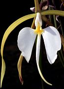 Epidendrum parkinsonianum Orchi 0017.jpg