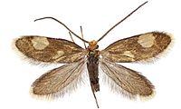 Epimartyria bimaculella.JPG