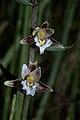 Epipactis palustris-01.jpg