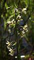 Epipactis palustris - inflorescence.jpg