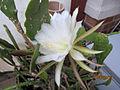 Epiphyllum cooperi 'Cooperi' (4687671029).jpg
