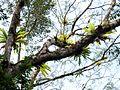 Epiphytes - Flickr - treegrow.jpg