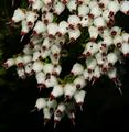 Erica drakensbergensis 1DS-II 1-6940.png
