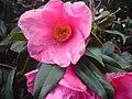 Ericales - Camellia japonica - 3.jpg