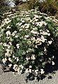 Eriogonum arborescens kz5.jpg