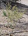 Eriogonumampullaceum.jpg