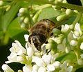 Eristalis tenax. - Flickr - gailhampshire (1).jpg