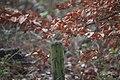 Erithacus rubecula 108970009.jpg