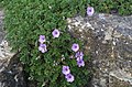 Erodium petraeum - Kew Gardens.jpg