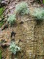 Erythrina sandwicensis (5210044382).jpg