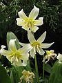 Erythronium 'White Beauty' 05.JPG