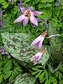 Erythronium dens-canis cv. 02.JPG