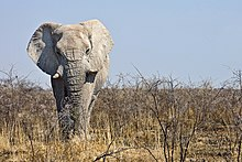 An African bush elephant male in Namibia