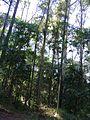 Eucaliptos do horto.jpg
