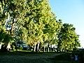 Eucalyptus - Reconquista - Santa Fe - Argentina - 1.jpg
