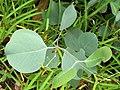 Eucalyptus albens juvenile leaves.jpg