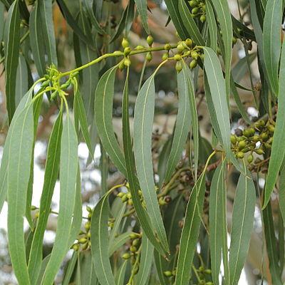 Eucalyptus dalrympleana-IMG 6019.jpg