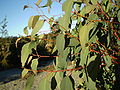 Eucalyptus olida juvenile foliage1.JPG